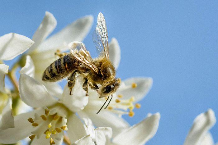 Honigbiene beim Pollensammeln