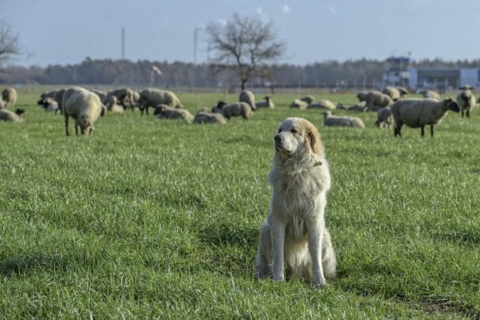 Diese Schafe auf einer Weide in der Schwarzen Heide bei Hünxe werden gut bewacht.