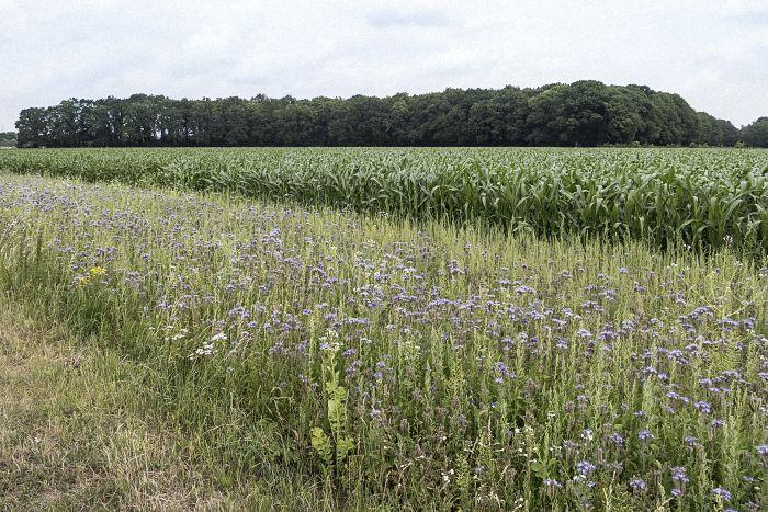konventionelles Maisfeld mit Blühstreifen, vorwiegend Phacelia tanacetifolia, auf deutsch Büschelschön (ursprüngliche Heimat Westamerika, aber bei unseren Bienen sehr beliebt).
