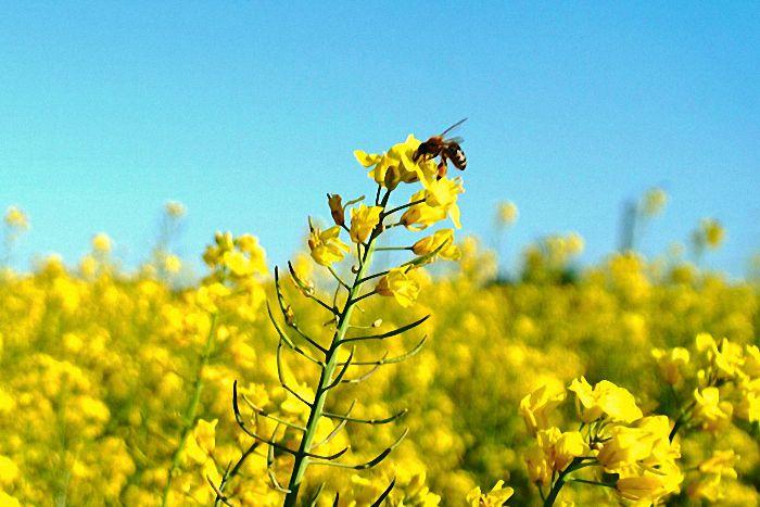 Ab Ende April blühen die Rapsfelder in leuchtendem Gelb