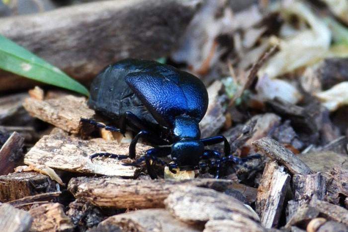 Der Schwarzblaue Ölkäfer (Meloe proscarabaeus) ist Insekt des Jahres 2020