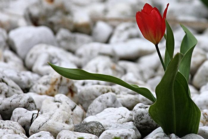 eine kleine rote Tulpe im Steinvorgarten aus Kies.