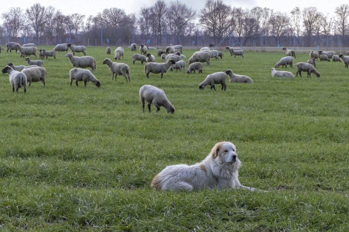 Gut bewacht vom Herdenschutzhund können diese Schafe in Ruhe weiden