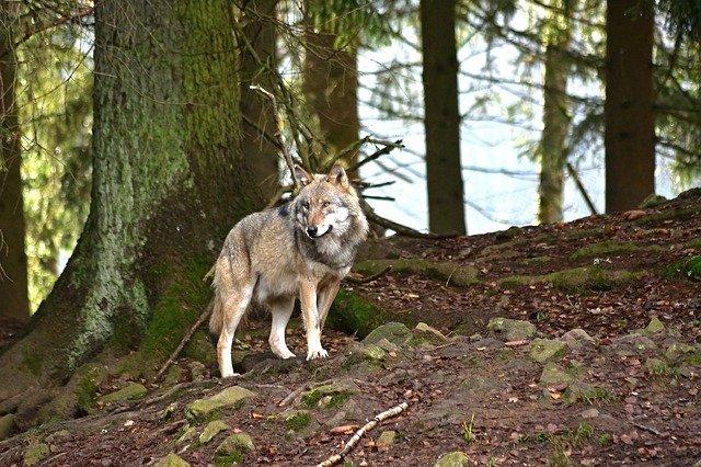 Wolf (Canis lupus) Symbolbild