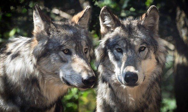 Wölfe (Canis lupus)