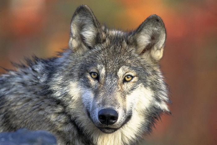 Eine Wölfin aus dem Wolfsrudel von Schneverdingen/Niedersachsen hat sich bei Schermbeck niedergelassen.